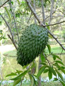 Graviola Frucht
